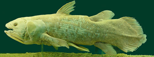 The cryptozoologists example the Coelacanth